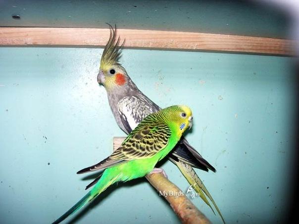 волнистые попугаи в резделе Животные, птицы, рыбки.